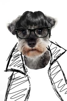 DOG - Miniature schnauzer in glasses and jacket