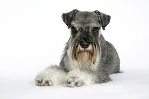<b>Miniature Schnauzer</b><br>Selection of 165 items