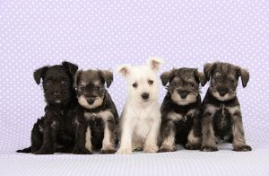 Dog. Miniature Schnauzer puppies (6 weeks old)