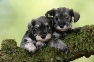 Dog. Miniature Schnauzer puppies (6 weeks old) on a mossy log