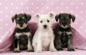 puppies/dog miniature schnauzer puppies 6 weeks old