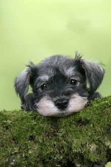 Dog. Miniature Schnauzer puppy (6 weeks old) on a mossy log