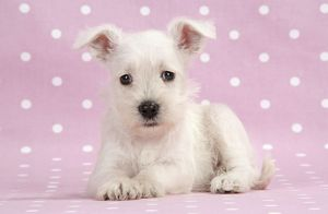 Dog. Miniature Schnauzer puppy (6 weeks old) on pink background