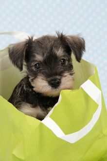 Dog. Miniature Schnauzer puppy (6 weeks old) in bag