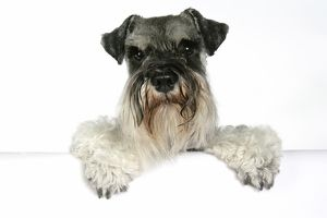 DOG - Miniature Schnauzer, sitting paws over