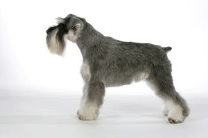Dog - Miniature Schnauzer. Side view