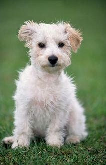Dog - Mongrel of Jack Russell Terrier puppy