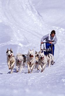 Dog - Musher with Siberian Husky sled-dog-team in action