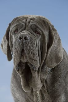 Dog - Neapolitan Mastiff