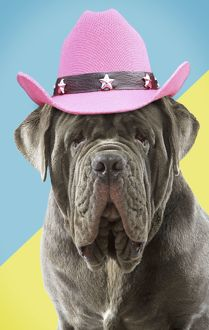 Dog Neapolitan Mastiff