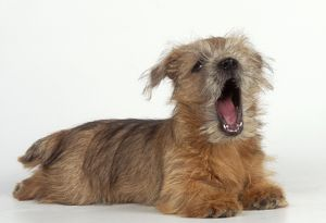 DOG - Norfolk / Norwich Terrier puppy, yawning / Ã''singingÃ'