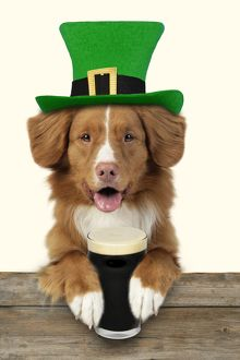 Dog - Nova Scotia Duck Tolling Retriever - Sitting at bar wearing a Saint Patrick's Day hat