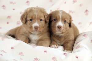 DOG - Nova scotia duck tolling retriever puppies laying together (6 weeks)