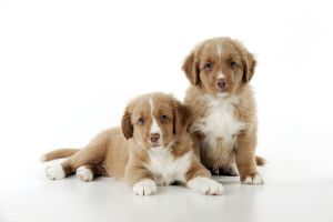 DOG - Nova scotia duck tolling retriever puppies sitting together (8 weeks)
