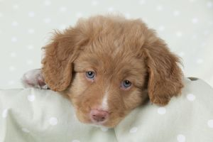 DOG - Nova Scotia Duck Tolling Retriever puppy ( 7 weeks old