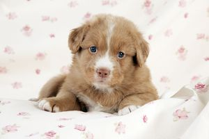 DOG - Nova scotia duck tolling retriever puppy laying (6 weeks)