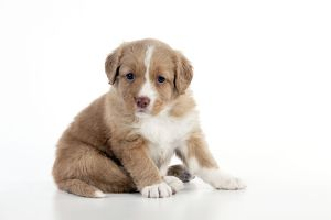 puppies/dog nova scotia duck tolling retriever puppy