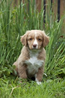 DOG - Nova scotia duck tolling retriever puppy in the garden (8 weeks)