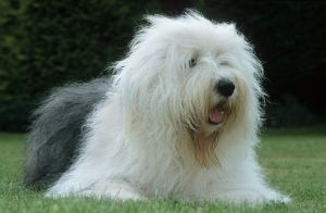 Dog - Old English Sheepdog lying in garden.