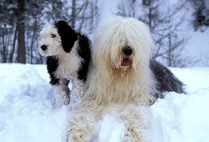 DOG - Old English Sheepdog with puppy in snow