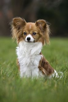 Dog - Papillon Dog sitting down in garden