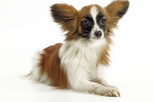 Dog - Papillon, lying down