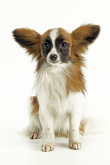 Dog - Papillon, sitting
