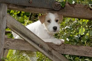 DOG - Parson jack russell terrier