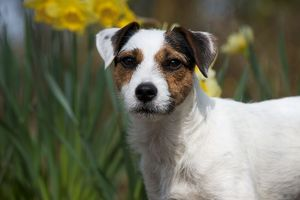 DOG - Parson jack russell terrier in daffodils