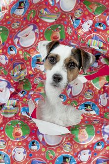 DOG - Parson jack russell terrier looking through