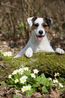 DOG - Parson jack russell terrier on moss covered log