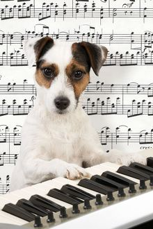 Dog. Parson Jack Russell Terrier at a piano keyboard