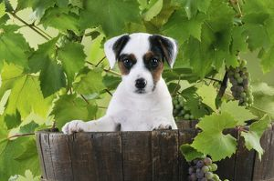 DOG. Parson jack russell terrier puppy in barrel with grapes