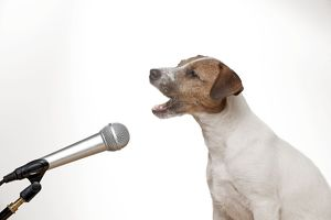 DOG - Parson jack russell terrier singing into microphone