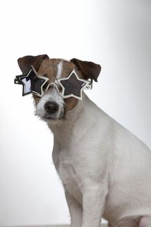 DOG - Parson jack russell terrier wearing star glasses