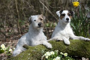 DOG - Parson jack russell terriers on moss covered log