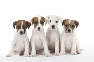 DOG - Parsons Jack Russell Terrier - puppies sitting