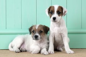 DOG - Parsons Jack Russell Terrier puppies one