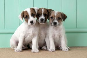 DOG - Parsons Jack Russell Terrier puppies sitting