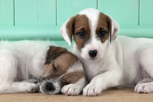 DOG - Parsons Jack Russell Terrier puppies laying