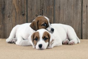 DOG - Parsons Jack Russell Terrier puppies laying together
