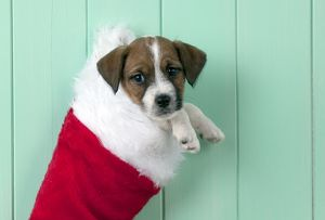 DOG - Parsons Jack Russell Terrier puppy in Christmas