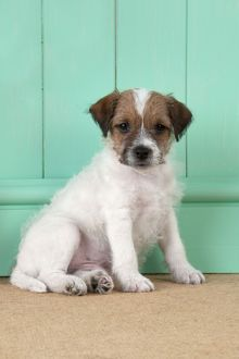 DOG - Parsons Jack Russell Terrier puppy (8 weeks)