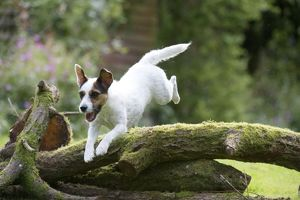 DOG - Parsons Jack Russell Terrier puppy jumping