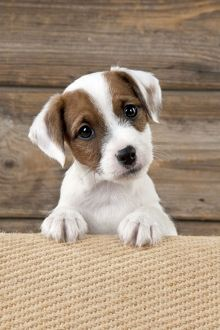 DOG - Parsons Jack Russell Terrier puppy looking