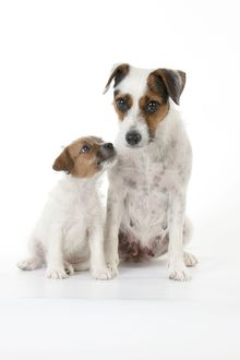 DOG - Parsons Jack Russell Terrier puppy sitting