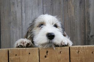 Dog - Petit Basset Griffon Vendeen puppy - 4 months old looking over fence