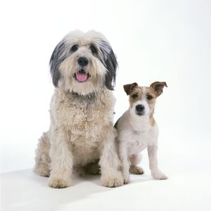 DOG - Polish Lowland Sheepdog with Jack Russell Terrier