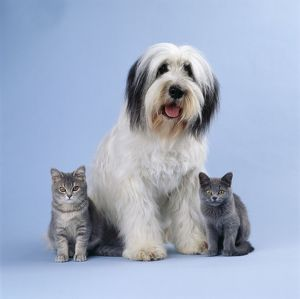 DOG - Polish lowland Sheepdog with two kittens