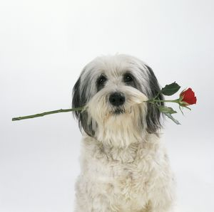 DOG - Polish Lowland Sheepdog - with rose in its mouth, pink background